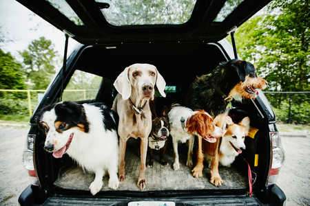 Group of Dogs in the Back of Car