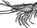 royal_red_shrimp_266x175.png