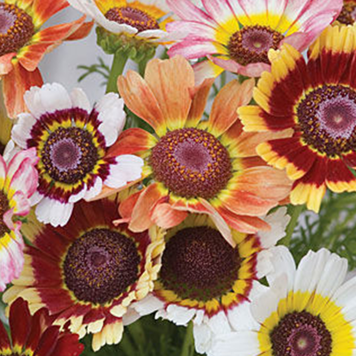 Colorful Chrysanthemums in yellow, orange, and red photo