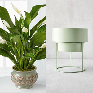 A peace lily plant paired with a mint green metal planter photo
