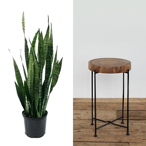 Tall snake plant paired with a tall round wood plant stand photo