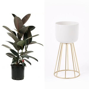 Burgundy ficus paired with a gold wire global standing planter photo