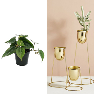 Three sizes of gold plant stands paired with a heart leaf philodendron photo