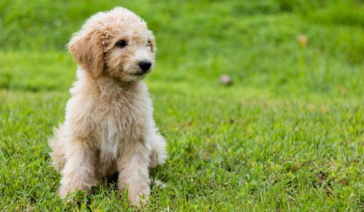 11 Things Every Goldendoodle-Lover Needs Now