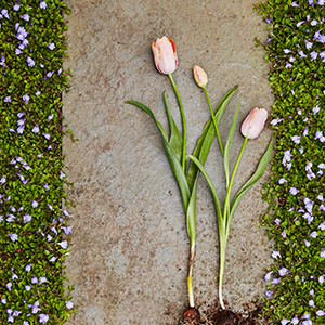 Three tulips laying on a stone. photo