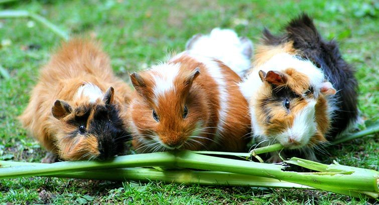 Three white and brown guinea pigs eating grass