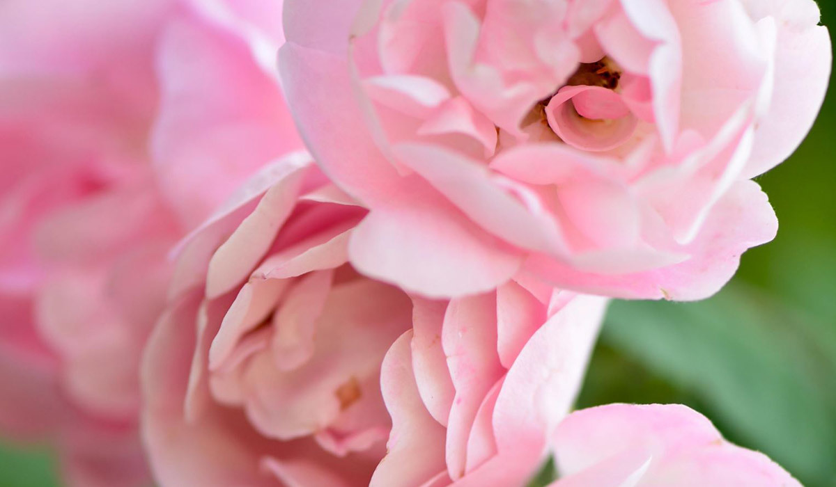 Closeup of pink antique roses photo