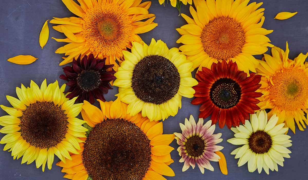 A group of sunflowers photo