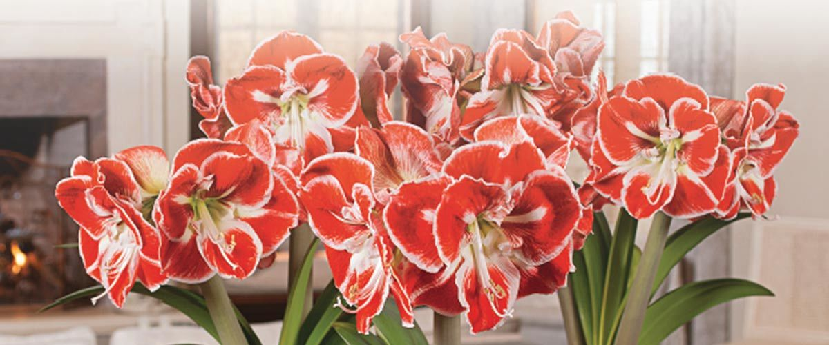 A bouquet of amaryllis flowers photo