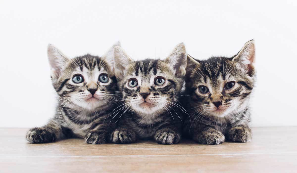Three kittens lying down photo