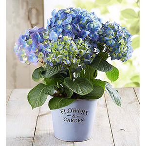 Blue Hydrangeas in a White Pail From 1-800-Flowers photo