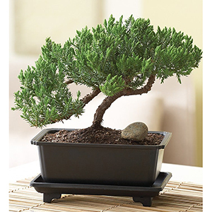 Bonsai Tree in Black Planter From 1-800-Flowers photo