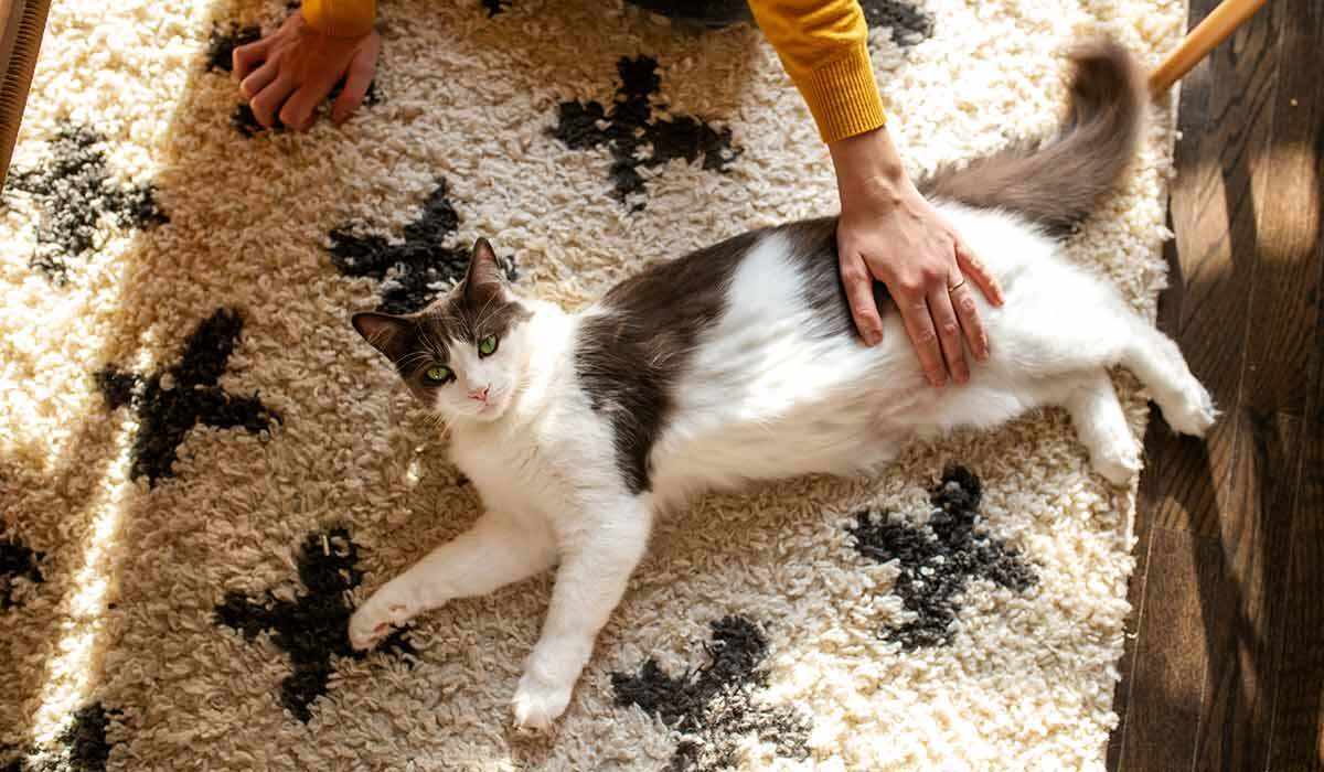 A person rubs their cat's belly photo