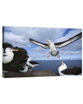 """East Urban Home 'Campbell Albatross Coming in to Land Campbell Island New Zealand' Photographic Print EAUB5228 Size: 20"""" H x 30"""" W Format: Wrapped Canvas"""