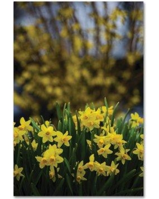 """Trademark Fine Art 'Spring is Yellow Daffodils and Forsythia' Photographic Print on Wrapped Canvas KS01372-C Size: 47"""" H x 30"""" W"""