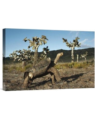 "East Urban Home 'Galapagos Giant Tortoise Opuntia Cacti Galapagos Islands Ecuador' Photographic Print EAUB5640 Size: 16"" H x 24"" W Format: Wrapped Canvas"