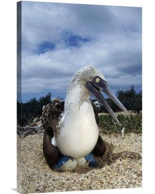 """East Urban Home 'Blue-Footed Booby Male Incubating Eggs Galapagos Islands' Photographic Print EAUB4697 Size: 30"""" H x 20"""" W Format: Wrapped Canvas"""