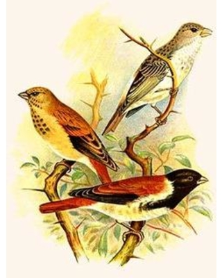 Discover Deals On Buyenlarge Grey Singing Finch Or Canary Alario Finch Print In Brown Yellow Green Size 42 H X 28 W X 1 5 D Wayfair 0 587 29530 9c2842