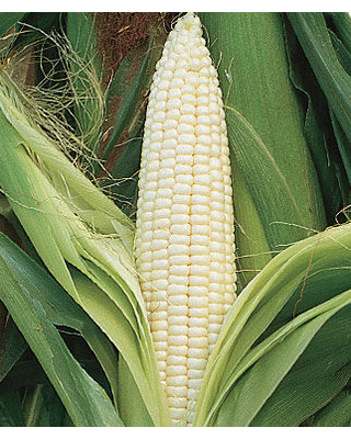 Corn, Silver Queen Hybrid 1 Pkt. (1600 seeds)