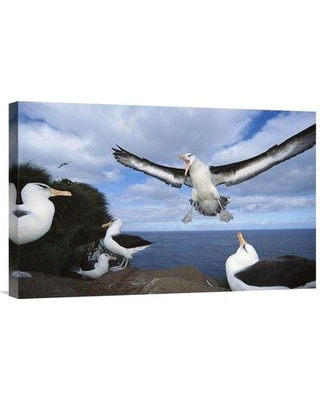 """East Urban Home 'Campbell Albatross Coming in to Land Campbell Island New Zealand' Photographic Print EAUB5228 Size: 16"""" H x 24"""" W Format: Wrapped Canvas"""