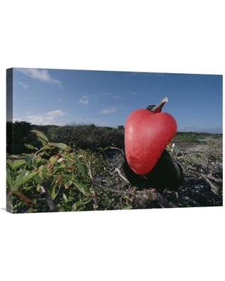 """East Urban Home 'Great Frigatebird Male in Courtship Display Galapagos Islands Ecuador' Photographic Print EAUB4761 Size: 16"""" H x 24"""" W Format: Wrapped Canvas"""
