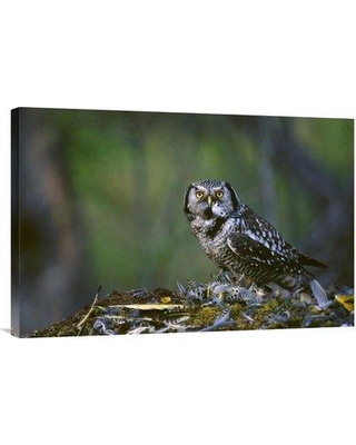 "East Urban Home Alaska Slana 'Northern Hawk Owl Feeding on Prey' Photographic Print on Wrapped Canvas NNAI4568 Size: 20"" H x 30"" W"