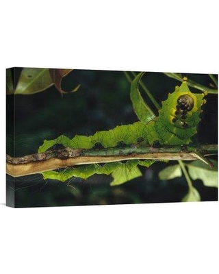 """East Urban Home 'Caterpillar on Branch Tam Dao National Park Vietnam' Photographic Print EAAC8305 Format: Wrapped Canvas Size: 12"""" H x 18"""" W"""