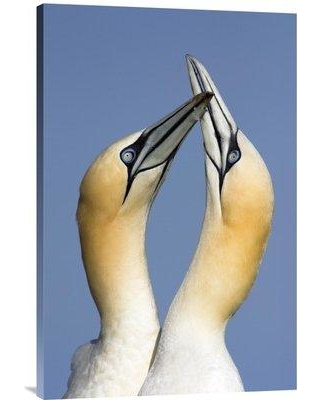 "East Urban Home 'Northern Gannet Pair Courting Saltee Island Ireland' Photographic Print EAAC9323 Size: 30"" H x 20"" W Format: Wrapped Canvas"