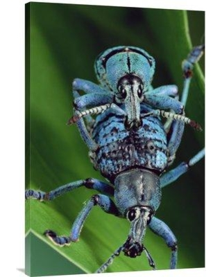 """East Urban Home 'True Weevil Couple Mating Hala Papua New Guinea' Photographic Print EAAC9016 Size: 36"""" H x 24"""" W Format: Wrapped Canvas"""
