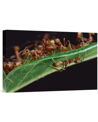 "East Urban Home 'Green Tree Ants on Leaf with Ant-Mimicking Jumping Spider Hiding Below Sri Lanka' Photographic Print EAAC9024 Size: 12"" H x 18"" W Format: Wrapped Canvas"