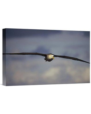 """East Urban Home 'Waved Albatross Flying Galapagos Islands Ecuador' Photographic Print EAUB5432 Size: 12"""" H x 18"""" W Format: Wrapped Canvas"""