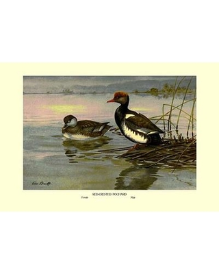 Buyenlarge Red-Crested Pochard by Allan Brooks Painting Print 0-587-08878-8