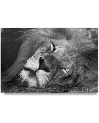 """Trademark Fine Art 'Lion Sleeping' Photographic Print on Wrapped Canvas ALI23382-C Size: 12"""" H x 19"""" W x 2"""" D"""