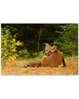 Trademark Art Red Fox Algonquin Park Photographic Print On Wrapped Canvas 1x03737 C