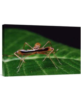 """East Urban Home 'Kerengga Ant-Like Jumper Males Fighting Sri Lanka' Photographic Print EAAC8745 Size: 16"""" H x 24"""" W Format: Wrapped Canvas"""