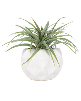 Air Plant in White Mod Container
