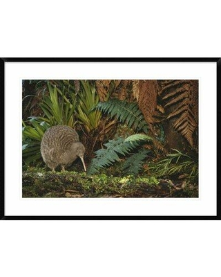 """Global Gallery 'Great Spotted Kiwi Male' Framed Photographic Print, Paper in Brown/Green, Size 26"""" H x 36"""" W x 1.5"""" D   Wayfair"""