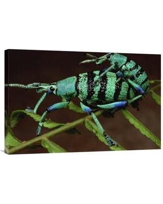 """East Urban Home 'True Weevil Couple Mating Wau Papua New Guinea' Photographic Print EAAC9017 Size: 20"""" H x 30"""" W Format: Wrapped Canvas"""