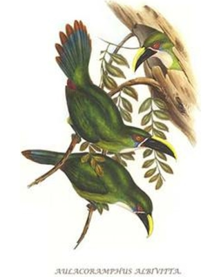 """Buyenlarge 'White Throated Toucanet' by John Gould Graphic Art 0-587-29293-8 Size: 30"""" H x 20"""" W x 1.5"""" D"""