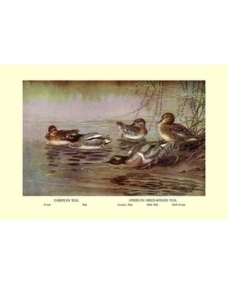 Buyenlarge European and American Teal Duck by Allan Brooks Painting Print 0-587-08779-x