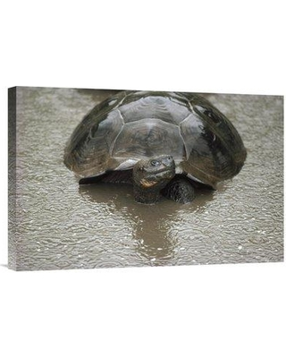"""East Urban Home 'Galapagos Giant Tortoise Wallowing Alcedo Volcano Galapagos' Photographic Print EAUB4678 Size: 16"""" H x 24"""" W Format: Wrapped Canvas"""