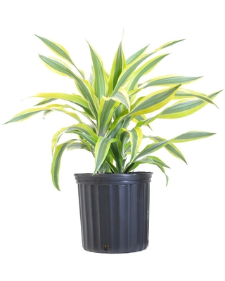 UNITED NURSERY 24 in. Tall to 30 in. Tall Dracaena Warneckii Lemon Lime Plant Live Indoor Houseplant Shipped in 9.25 in. Grower Pot
