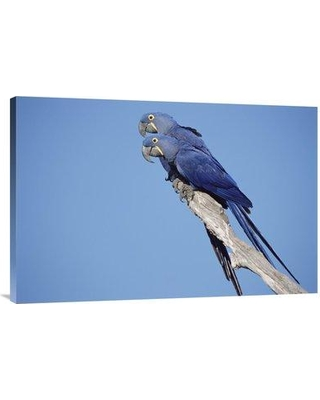 """East Urban Home 'Hyacinth Macaw Pair in Tree Pantanal Brazil' Photographic Print EAUB5512 Size: 24"""" H x 36"""" W Format: Wrapped Canvas"""