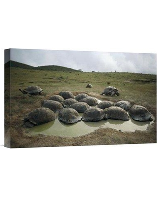 """East Urban Home 'Galapagos Giant Tortoises Wallowing Alcedo Volcano Galapagos' Photographic Print EAUB5636 Size: 12"""" H x 18"""" W Format: Wrapped Canvas"""