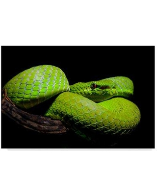 261d2c09b4 East Urban Home  Popes Pit Viper  Photographic Print on Wrapped Canvas  W000208195 Size