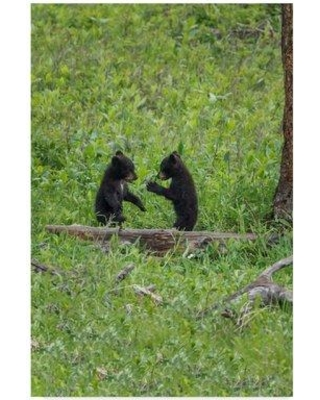 """Trademark Fine Art 'Black Bear Cubs' Photographic Print on Wrapped Canvas ALI35063-CGG Size: 47"""" H x 30"""" W x 2"""" D"""