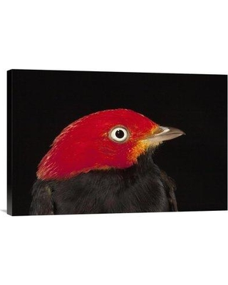 """East Urban Home 'Red-Capped Manakin Male Barro Colorado Island Panama' Photographic Print EAAC8716 Size: 16"""" H x 24"""" W Format: Wrapped Canvas"""