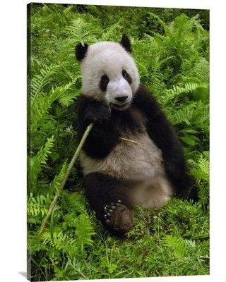 """East Urban Home 'Giant Panda Eating Bamboo Wolong Nature Reserve China' Photographic Print EAAC7121 Size: 36"""" H x 24"""" W Format: Wrapped Canvas"""