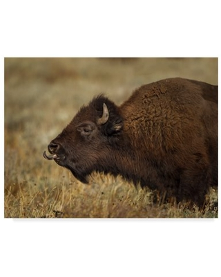 Trademark Fine Art 'Yellowstone Bison Tongue Out' Canvas Art by Galloimages Online