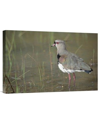 """East Urban Home 'Southern Lapwing in Marshland Pantanal Brazil' Photographic Print EAUB5437 Size: 16"""" H x 24"""" W Format: Wrapped Canvas"""